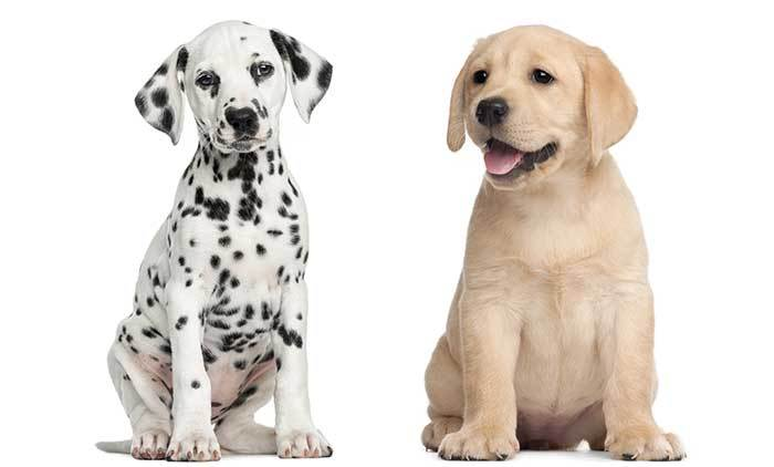 Lab Dalmatian Mix Guide