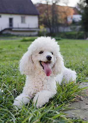poodle dog in a park