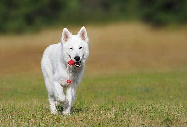 white dog running with toy