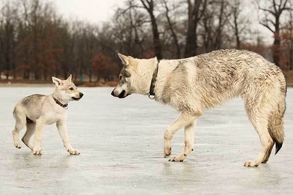 What Does a Tamaskan Dog Look Like?