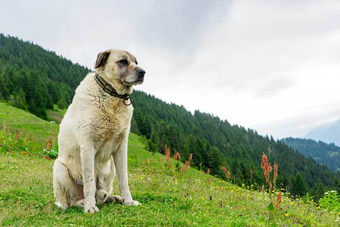 turkish kangal dog guide