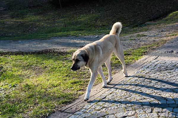 what does a kangal dog look like?