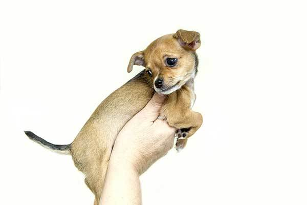 Everything You Need To Know About The Teacup Chihuahua