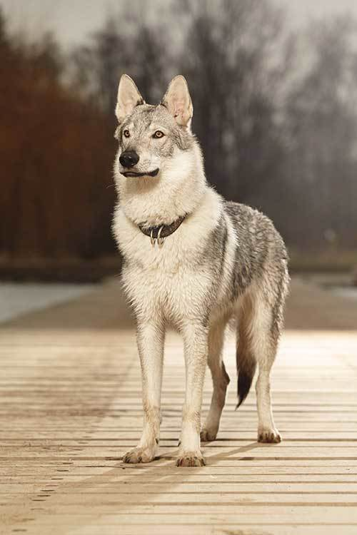 are tamaskan dogs aggressive?