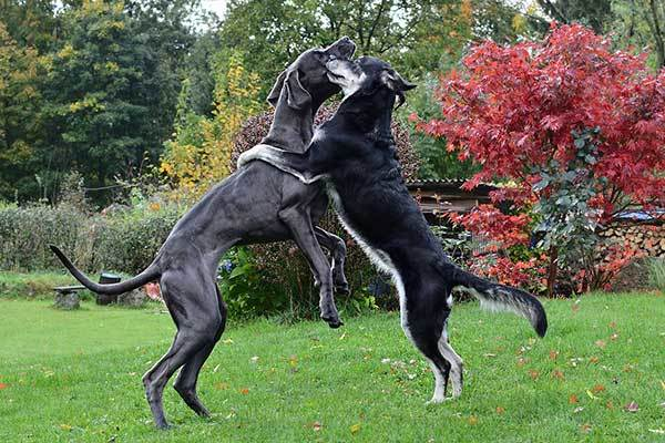 Great Dane dog hugging with other dog