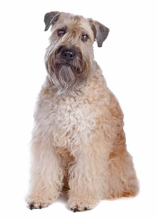 Soft Coated Wheaten Terrier dog history