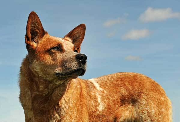 how smart are red heelers