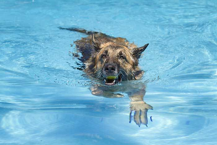 do german shepherds like to swim?