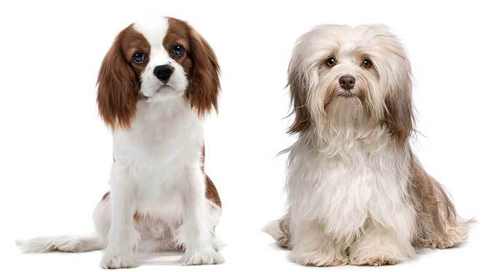 havanese king charles spaniel mix