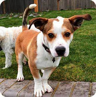 baset hound mixed with corgi