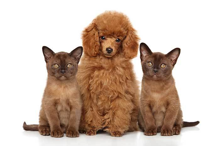poodles and cats