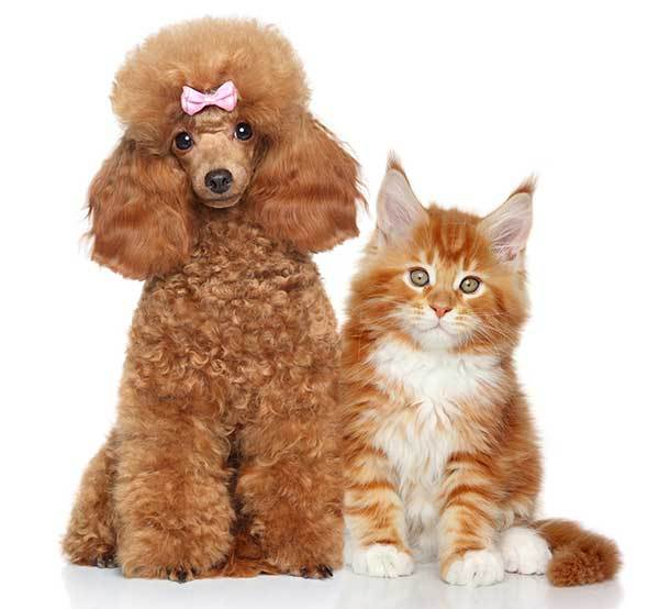 how well do poodles get long with cats?