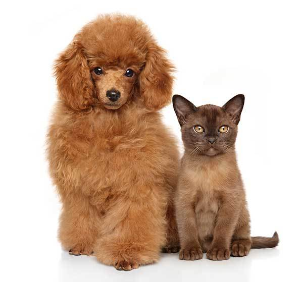 standard poodle and cat