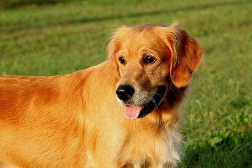 golden retriever in a park