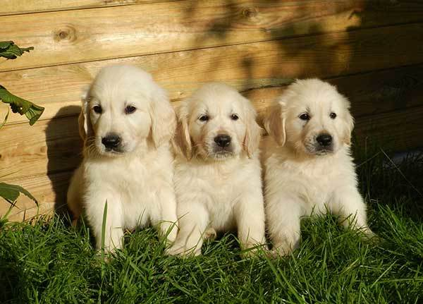 3 cute golden retriever puppies