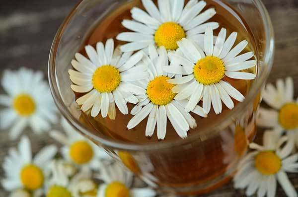 is chamomile poisonous to dogs