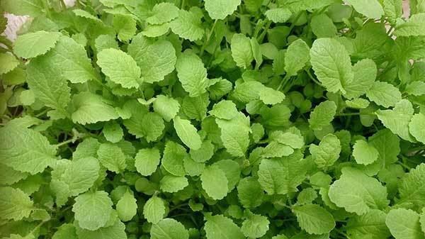 mustard greens benefits for dogs