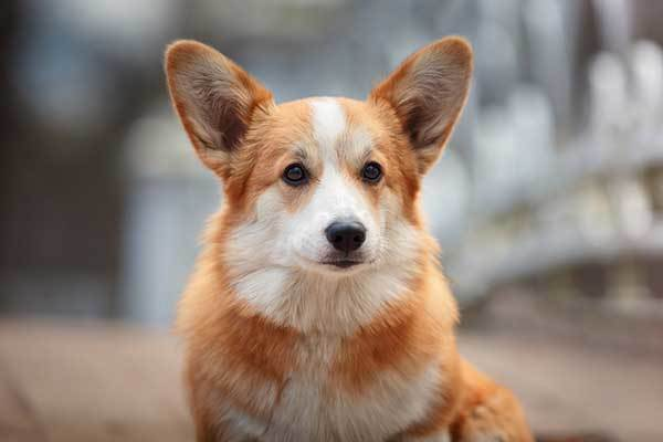 pembroke welsh corgi origin