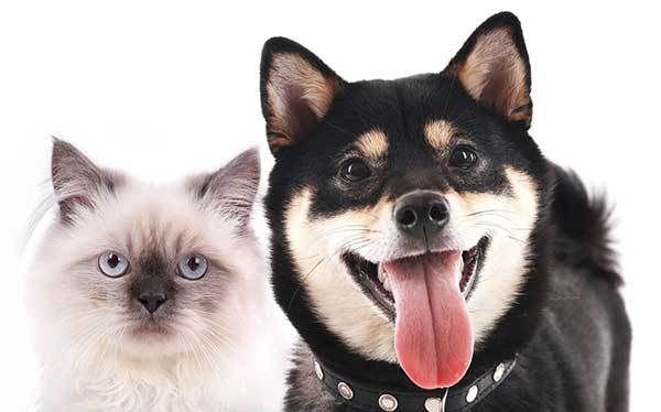 the relationship between shiba inu and cat
