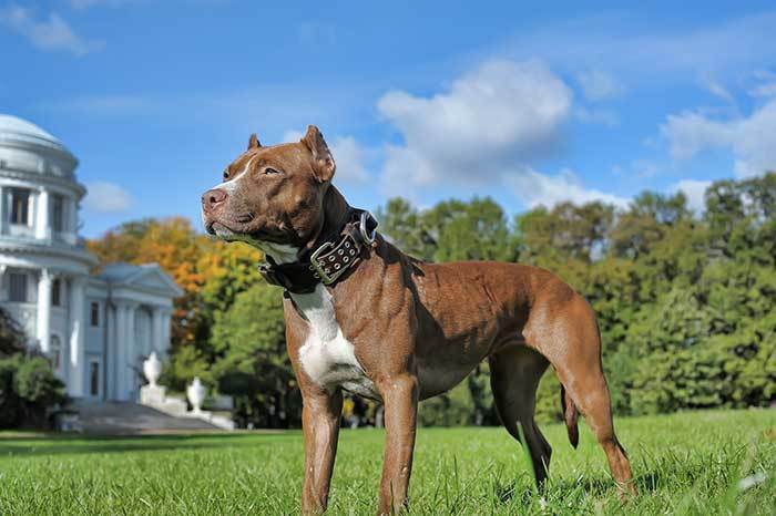 why have pit bulls become so popular?