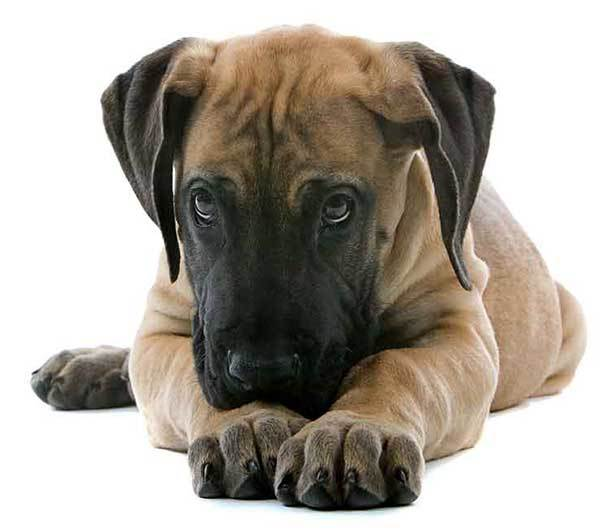 is there such thing as a mini great dane?