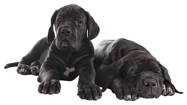 two all black Great Dane puppies