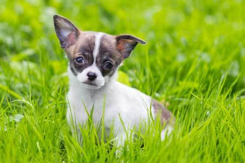 what are chihuahua dogs bred for?
