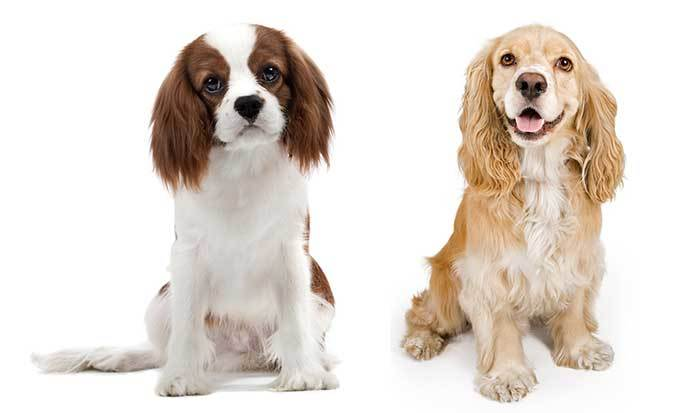 cavalier king charles and cocker spaniel mix