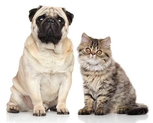 pug and cat in the same home