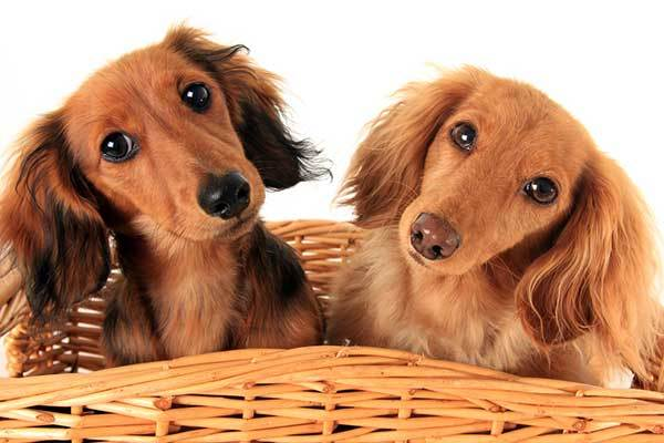 two adorable dachshund dogs