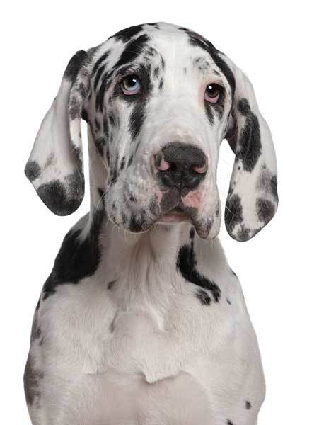 great dane origin