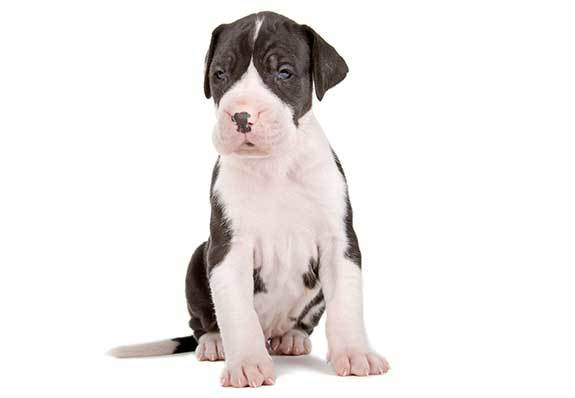cute great dane puppy