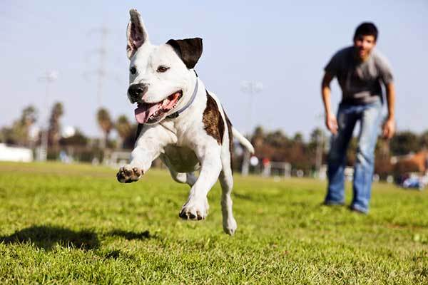 how fast does a pitbull run?