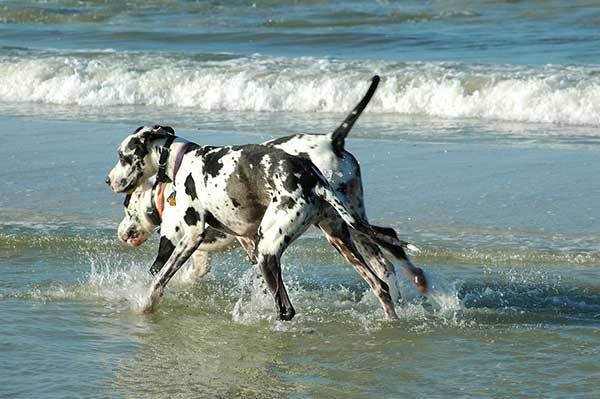 two Great Danes swimming