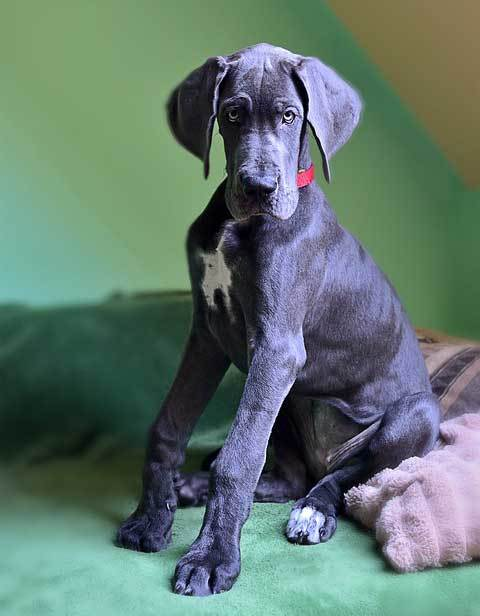 smaller version of great dane