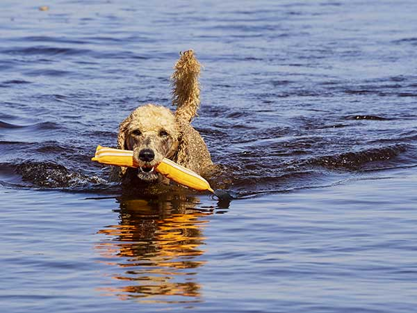 poodle dog swimming