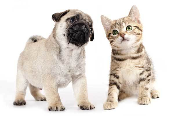 do pugs and cats get along?