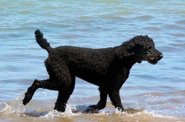 black standard poodle dog swimming