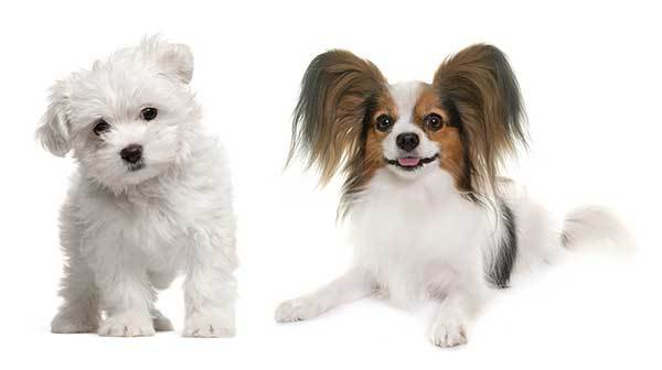 Papillon and Maltese Mix