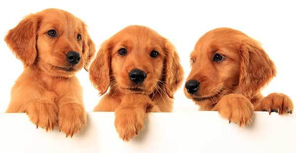 three cute red golden retriever puppies