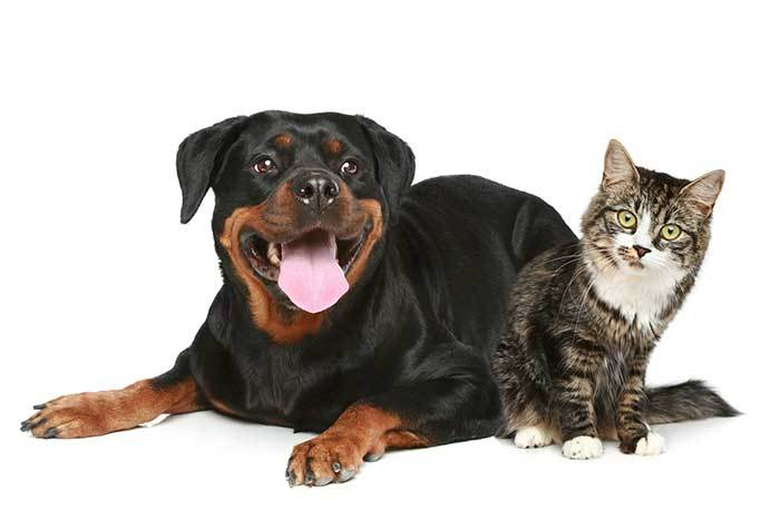 do rottweilers get along with cats?