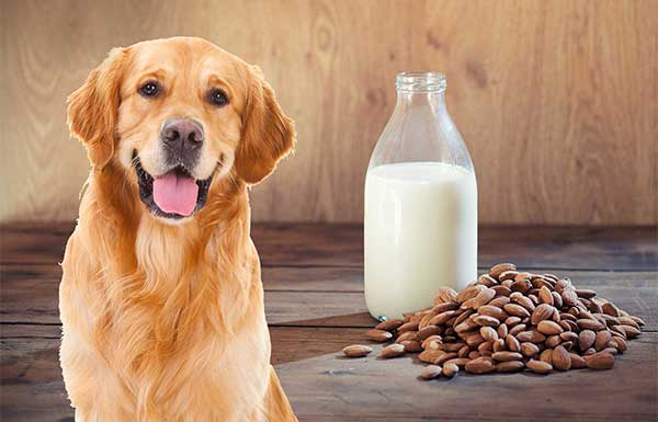 Can Dogs Drink Almond Milk?