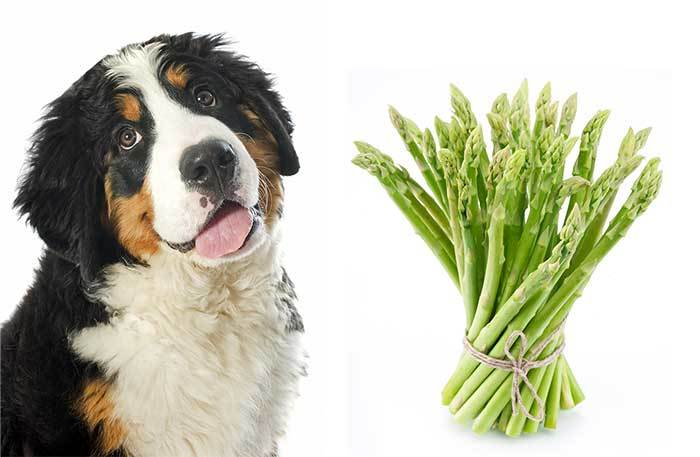 can dogs have asparagus?