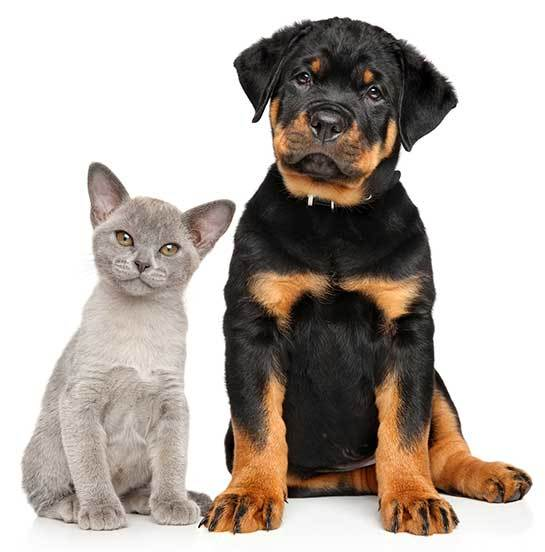 rottweilers and cats