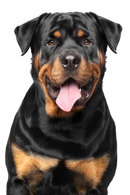 adorable rottweiler dog