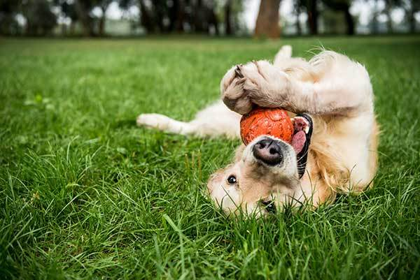 dog rolling and playing in grass