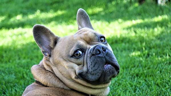 Cute French Bulldog Looking at the camera
