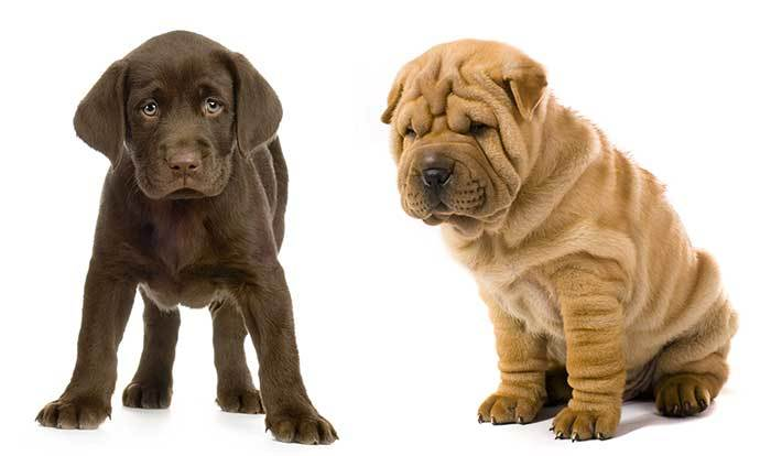 Shar Pei Lab Mix Is The Right