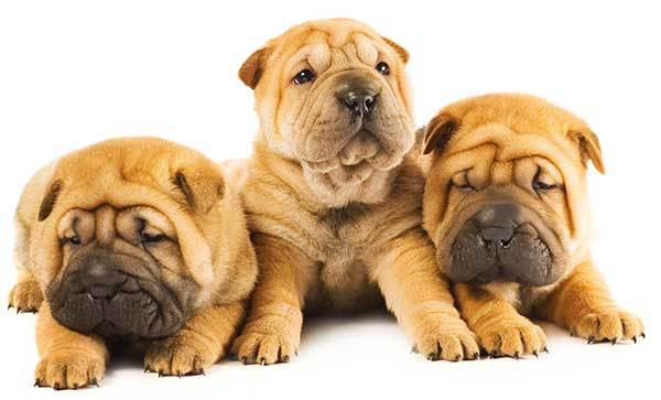 3 cute Shar Pei Puppies