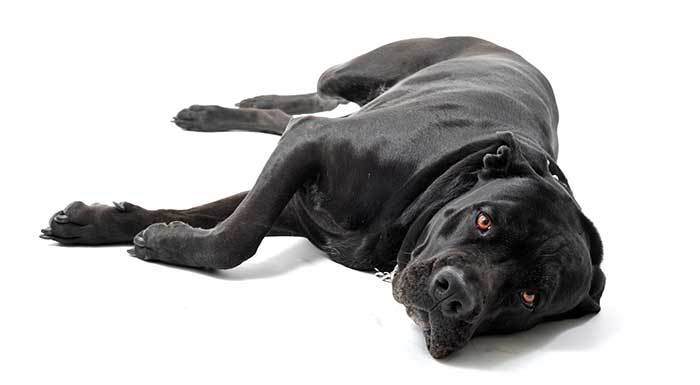 Italian Mastiff dog lying down